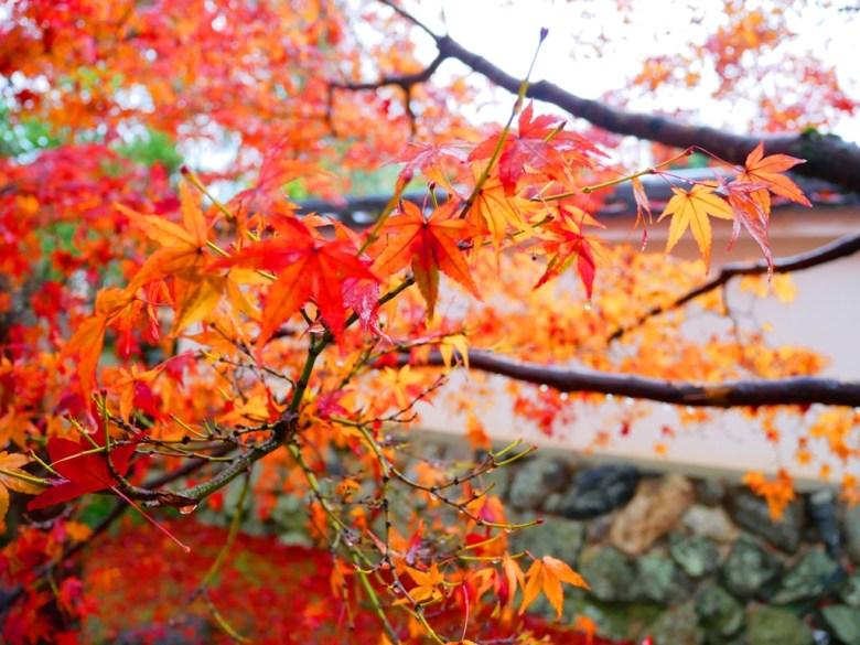 Maple | てんりゅうじ | 天龍寺 | Kyoto | Kansai | Japan | RoundtripJp