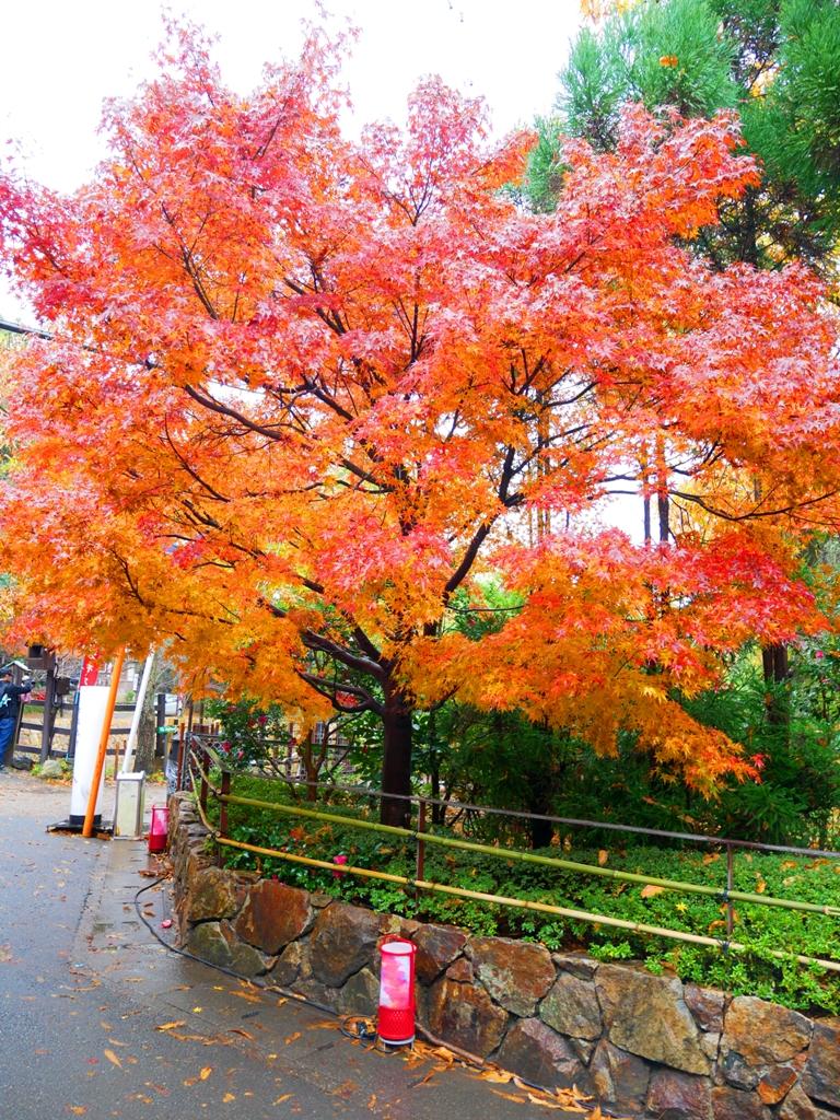 楓葉 | あらしやま | 嵐山 | 嵯峨野 | 京都 | 近畿(關西) | 日本 | 巡日旅行攝