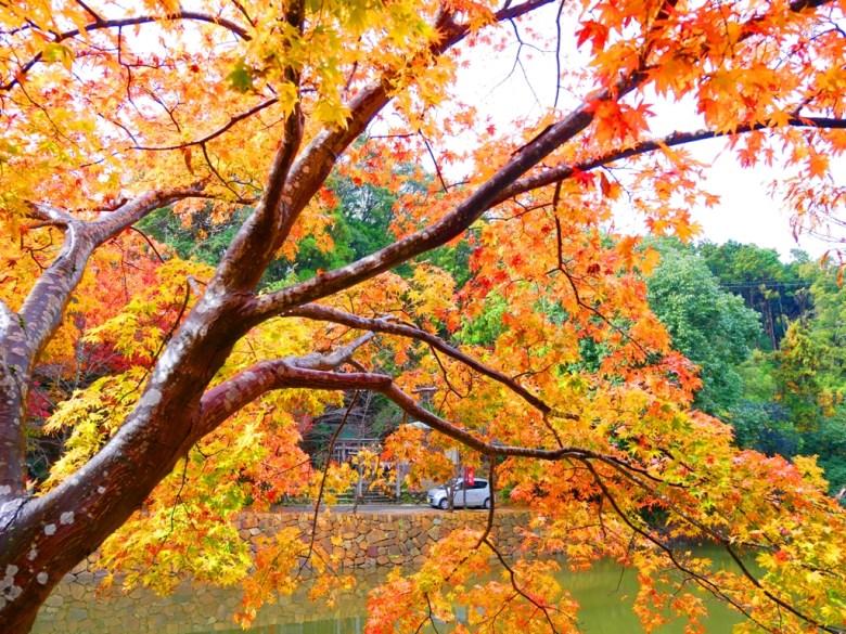 Maple | あらしやま | 嵐山 | 嵯峨野 | Kyoto | Kansai | Japan | RoundtripJp
