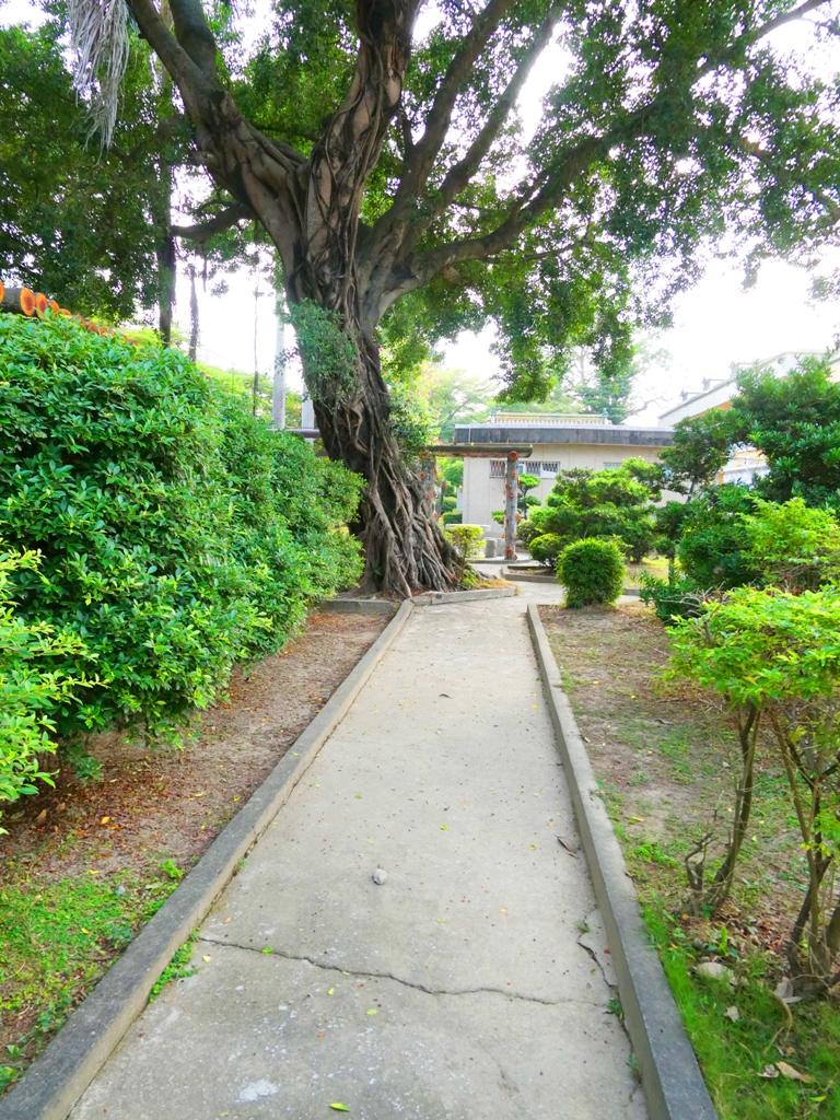 鹽水神社旁步道 | 巨大榕樹 | 鹽水國民小學內 | 鹽水區 | Yanshuei District | 台南市 | Tainan | 巡日旅行攝