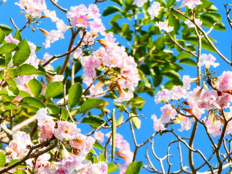 洋紅風鈴木   Tabebuia rosea   青空   自然   粉紅花開   嘉義神社   嘉義公園   RoundtripJp