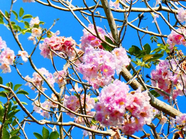 洋紅風鈴木   藍天   自然   粉紅花開   かぎじんじゃ   Chiayi Shrine   Chiayi   巡日旅行攝