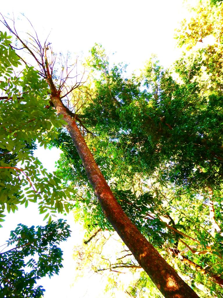 日本黑松 | Japanese Black Pine | 百年松樹 | 第一代嘉義神社遺跡旁 | 嘉義公園 | RoundtripJp