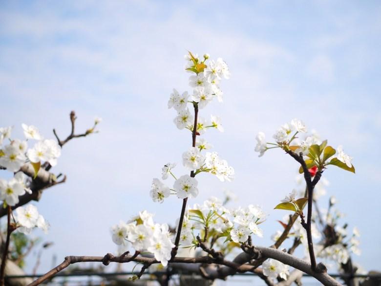 梨花 | 白花 | 泰安派出所停車場後方梨園 | Taian | Miaoli | Wafu Taiwan | RoundtripJp