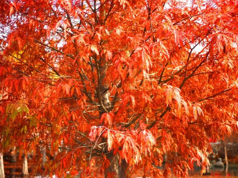 如同羽毛般的落羽松 | 落羽杉 | 大自然紅葉之美 | Taian | Miaoli | RoundtripJp