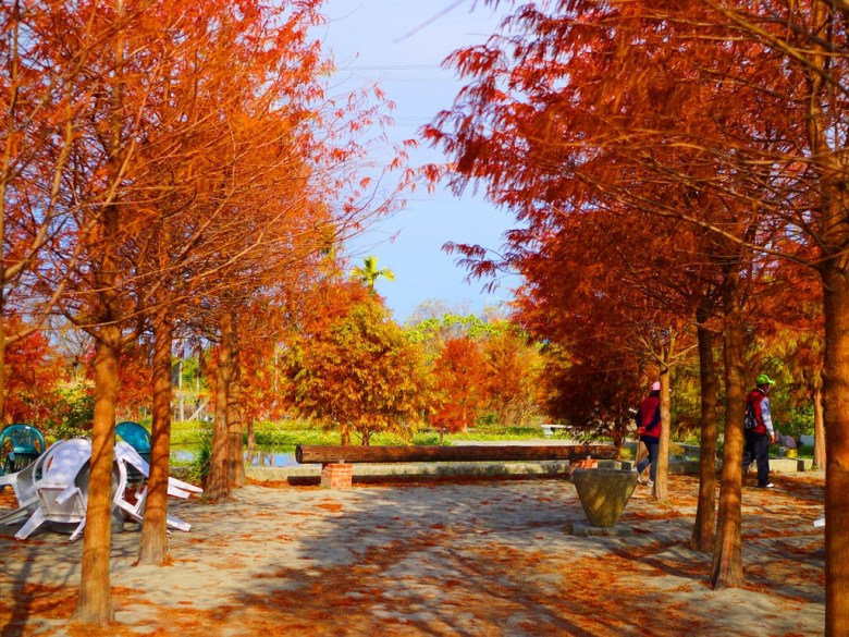 落羽松並木林 | 鮮豔大紅 | 日本味的臺灣景點 | Taian | Miaoli | RoundtripJp