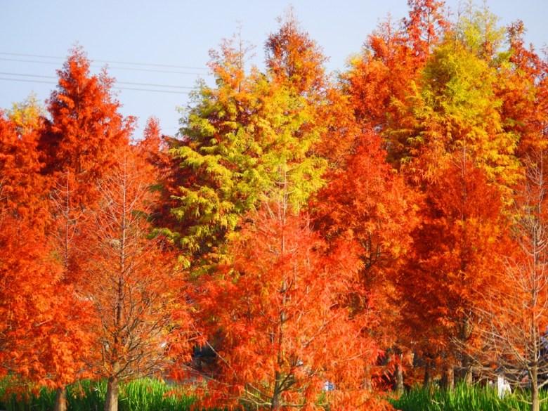 秋冬的禮物 | 落羽松 | 落羽杉 | ラクウショウ | Taxodium distichum | 泰安 | 苗栗 | RoundtripJp