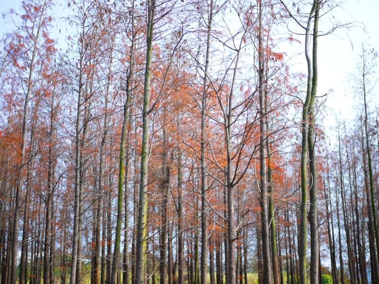 落羽松樹海 | 紅葉與青苔 | ラクウショウ | だいと | たいちゅう | 一抹和風 | 巡日旅行攝