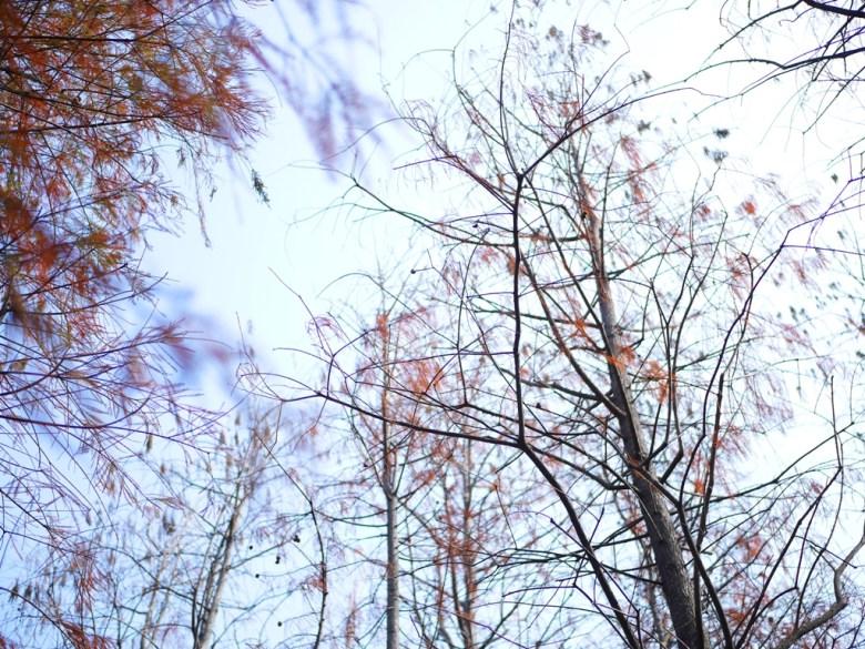 紅葉與青空 | 滄桑藍天 | Dadu Taxodium distichum | 一抹和風 | Dadu | Taichung | Wafu Taiwan | 巡日旅行攝