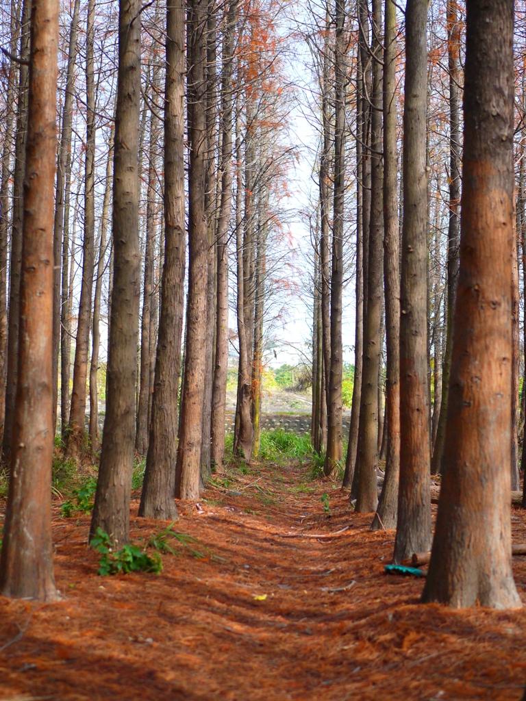 落羽松 | 落羽杉 | 樹海林 | ラクウショウ | だいと | たいちゅう | 巡日旅行攝