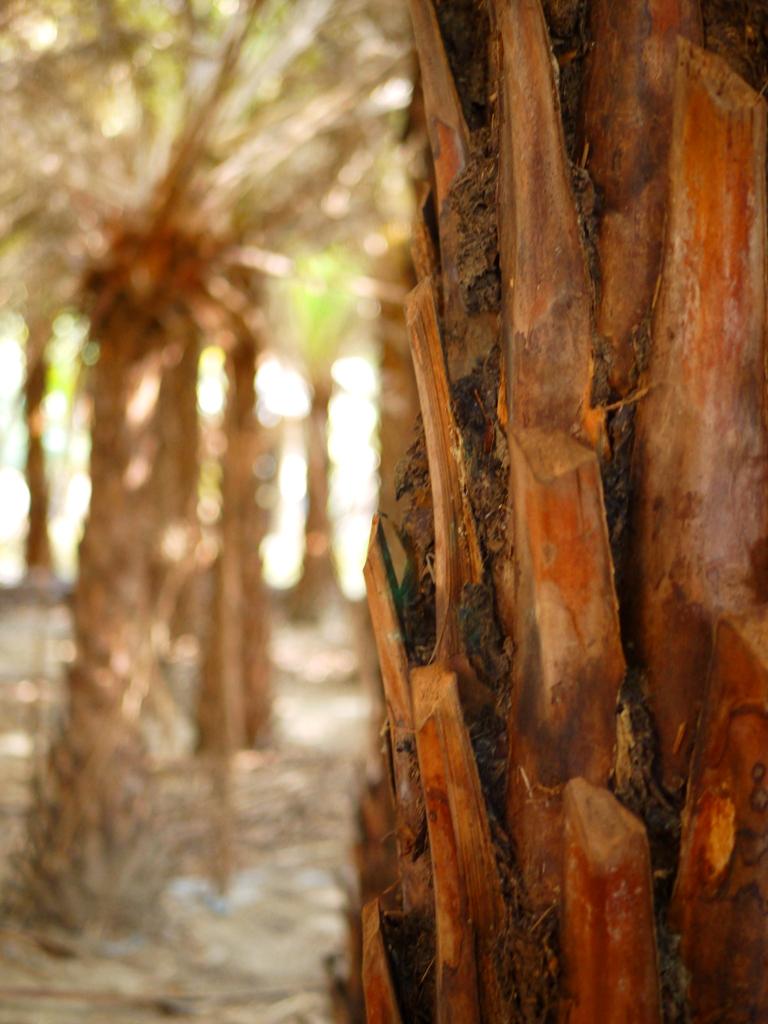 沙漠感植物 | 土系質感 | 中東海棗 | 海棗 | 椰棗 | だいと | たいちゅう | 巡日旅行攝