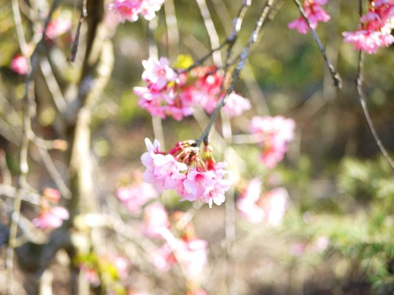 枝垂櫻 | Sakura | Guoxing | Nantou | Wafu Taiwan | RoundtripJp
