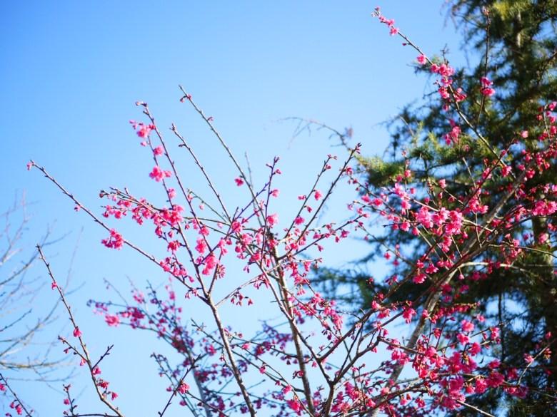 山櫻花 | さくら | Jiufen'er Shan | Guoxing | Nantou | 和風臺灣 | 巡日旅行攝