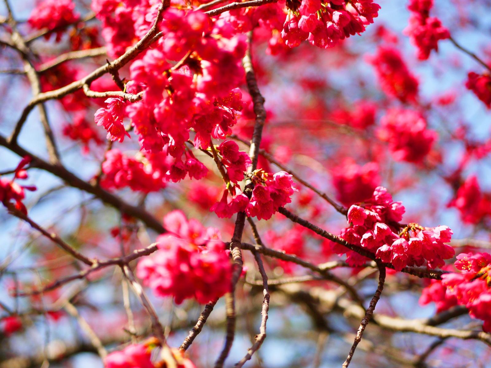 百花綻放 | 熱情繽紛的火紅山櫻花 | 緋寒櫻 | 八仙山國家森林遊樂區 | 和平 | 台中 | 和風臺灣 | RoundtripJp