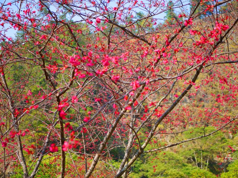 百花撩亂 | 山櫻花 | 緋寒櫻 | Basianshan National Forest Recreation Area | Heping | Taichung | RoundtripJp