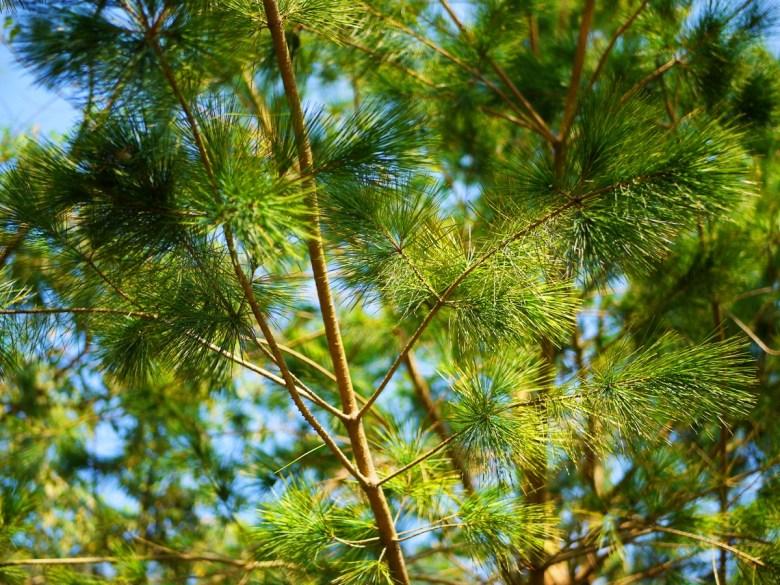 松樹 | 令人感到舒服的綠 | 自然的美 | Basianshan National Forest Recreation Area | Heping | Taichung | RoundtripJp