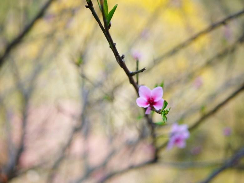 櫻花特寫 | 迷你可愛的小櫻花 | 八仙山國家森林遊樂區 | Basianshan National Forest Recreation Area | 巡日旅行攝