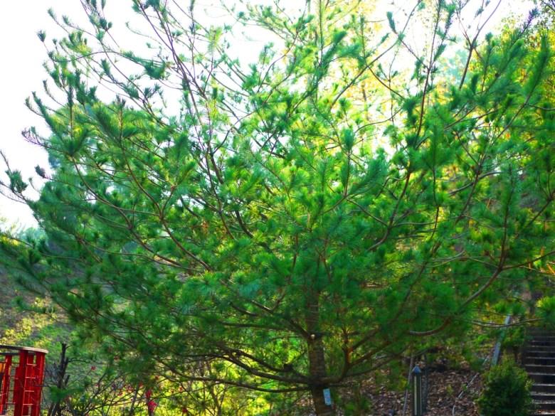 巨大的美麗松樹 | 綠色自然 | 梅山公園景緻 | メイシャンこうえん | Meishan Park | 巡日旅行攝