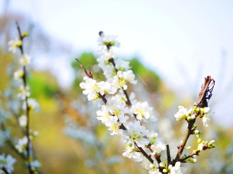 梅花與青空 | 清透空氣感 | 滿開的梅花 | 梅の花 | うめ | ウメ | メイシャンこうえん | Meishan Park | 巡日旅行攝