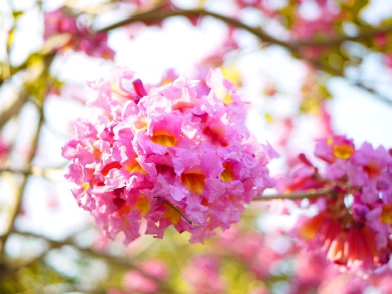 絕美的粉紅 | 粉紅色 | 洋紅風鈴木 | 梅山公園 | メイシャンこうえん | Meishan Park | 梅山 | 嘉義 | 巡日旅行攝