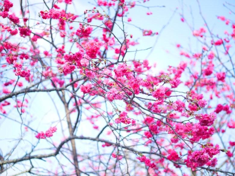 青與赤 | 桃紅般的鮮豔 | 藍色青空 | 芬園花卉生產休憩園區主題櫻花 | 烏日 | 台中 | 巡日旅行攝