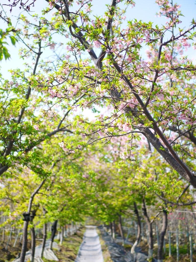 櫻花隧道 | 落櫻紛飛 | 芬園花卉生產休憩園區主題櫻花 | 烏日 | 台中 | 巡日旅行攝