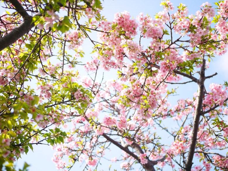 河津櫻 | 粉嫩色彩 | 少女系配色 | 藍色青天 | 烏日 | 台中 | Wuri | Taichung | RoundtripJp