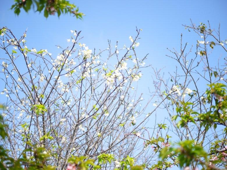 染井吉野櫻 | 白色櫻花 | 藍色青天 | 烏日 | 台中 | Wuri | Taichung | RoundtripJp