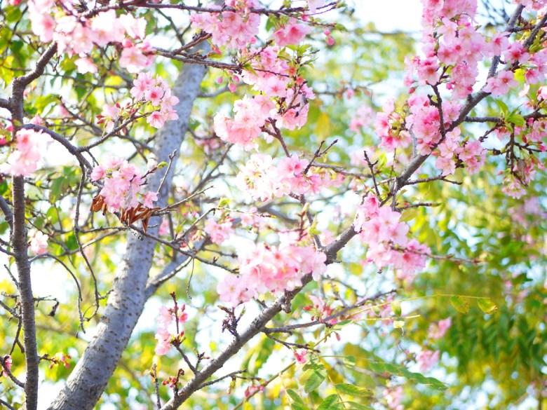 富士櫻 | Sakura | さくら | サクラ | Wuri | Taichung | RoundtripJp