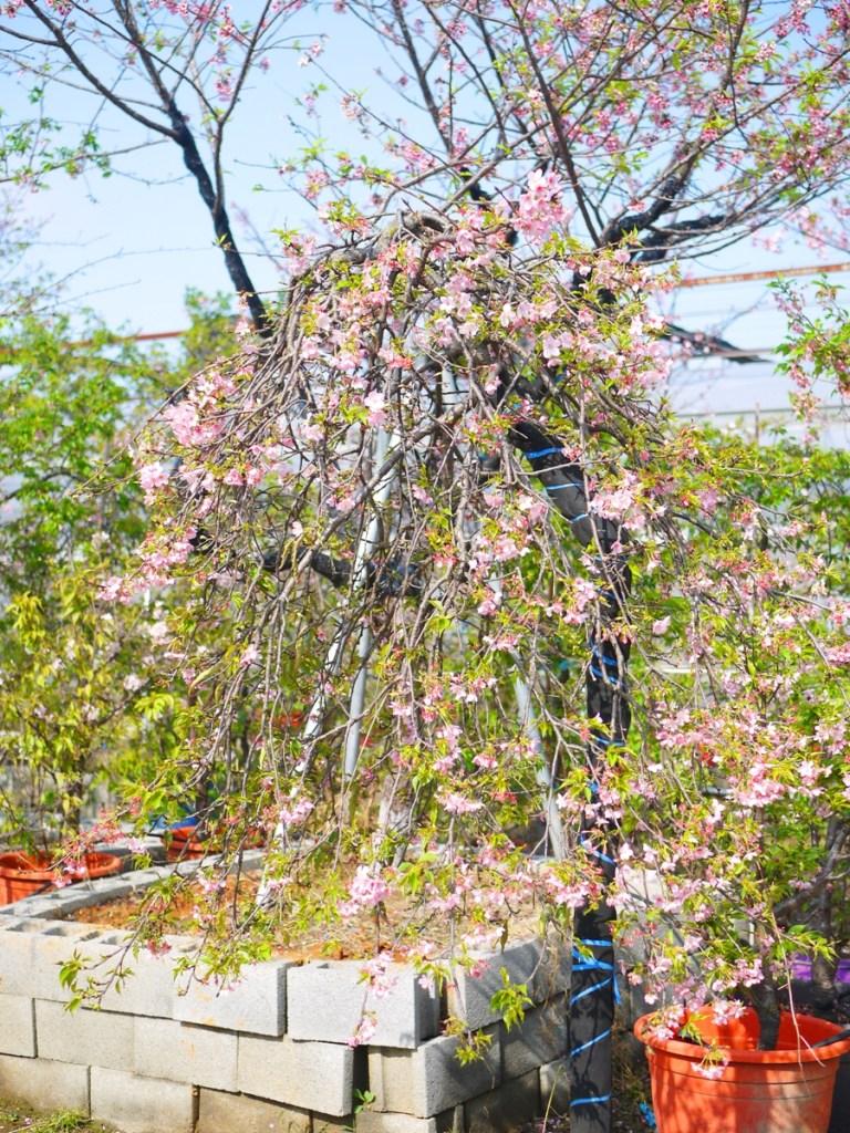 枝垂櫻 | 洲府枝垂櫻 | Zhou Fu Weepin Cherry Tree | Wuri | Taichung | RoundtripJp