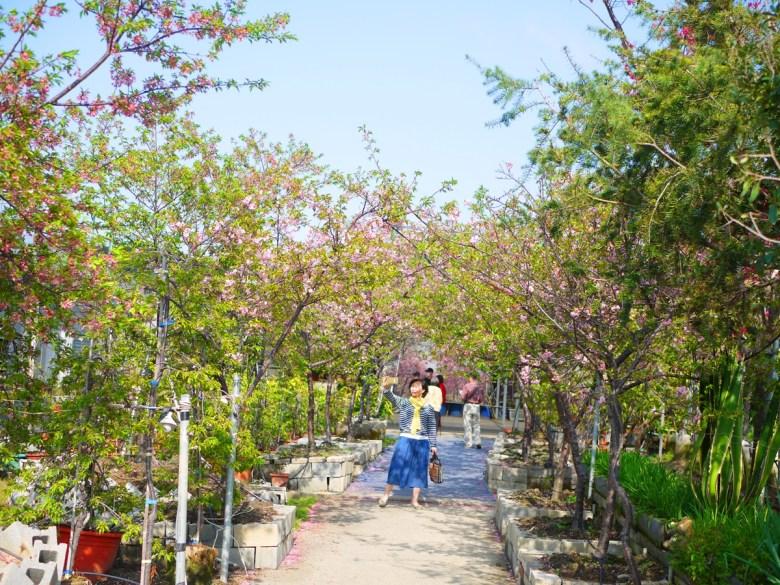 賞櫻旅人 | 追櫻 | 櫻花的美好季節 | 芬園花卉生產休憩園區主題櫻花 | 烏日 | 台中 | 巡日旅行攝