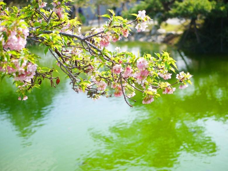 枝垂櫻 | 洲府枝垂櫻 | 芬園花卉生產休憩園區主題櫻花 | 烏日 | 台中 | RoundtripJp