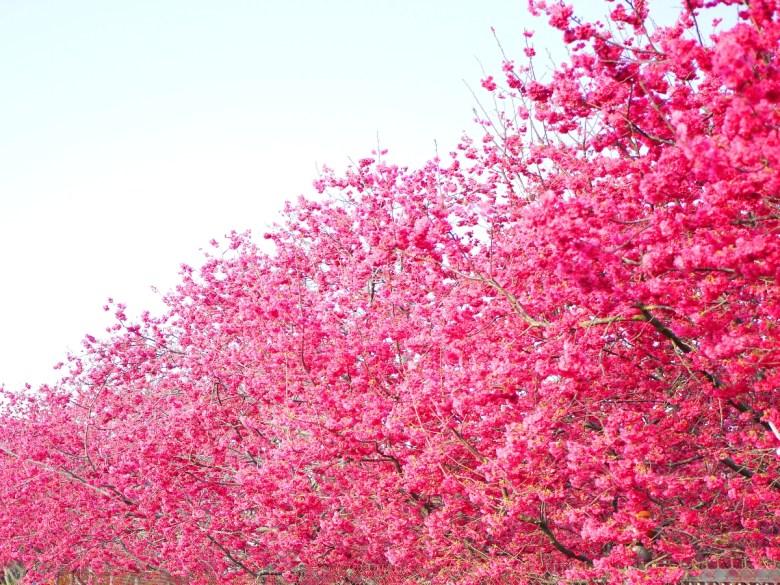 滿開的八重櫻 | 山櫻花 | 新社私人農家櫻花秘境 | さくら | しんしゃ | 和風臺灣 | RoundtripJp