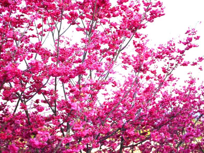滿開的八重緋寒櫻 | 新社私人農家の櫻花秘境 | さくら | しんしゃ | RoundtripJp