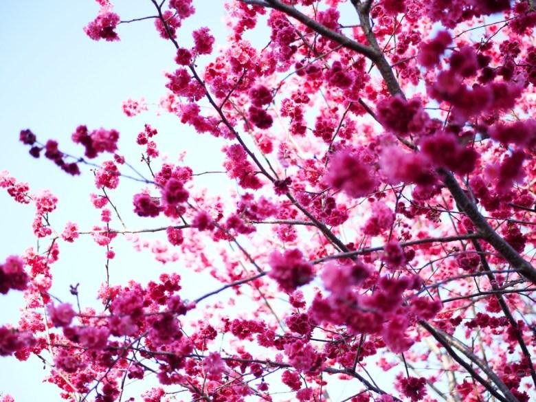 櫻花樹下的浪漫風情 | 日本風 | 新社私人農家の櫻花秘境 | Xinshe | Taichung | 巡日旅行攝