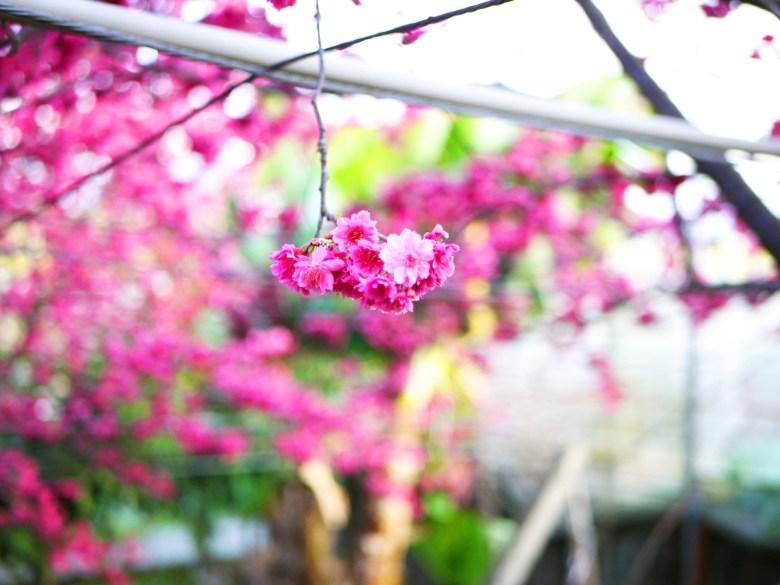 徹底感受日本風情的浪漫櫻花樹海 | 新社私人農家の櫻花秘境 | さくら | しんしゃ | RoundtripJp