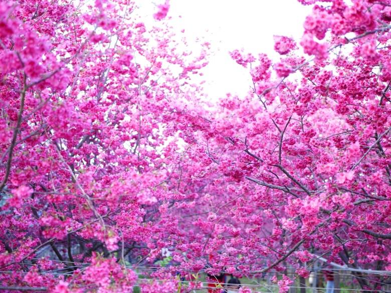 櫻花樹海 | 清新芬芳 | 新社私人農家の櫻花秘境 | Xinshe | Taichung | 巡日旅行攝