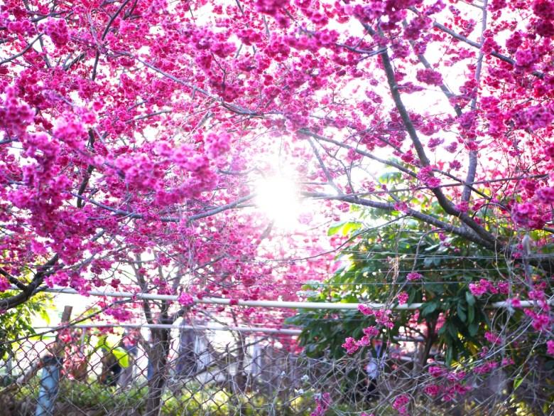 在櫻花中的一處日光 | 綺麗清新 | 風景宜人 | 新社區興社街一段200號 | 新社 | 台中 | 巡日旅行攝