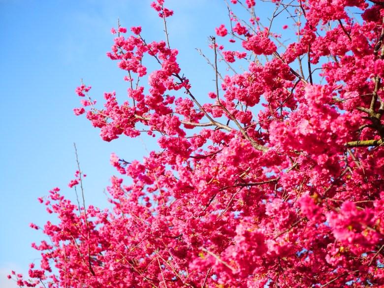 青空與紅櫻 | 美的像一幅畫 | 日本味 | 新社區興社街一段200號 | 新社 | 台中 | RoundtripJp