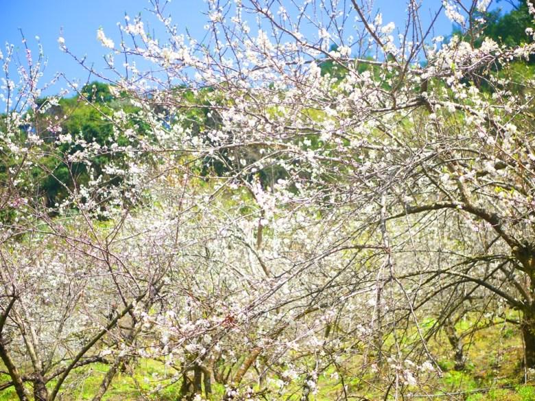 滿是李花的李花園 | 台21線新中橫公路旁 | Xinyi | Nantou | 和風臺灣 | RoundtripJp