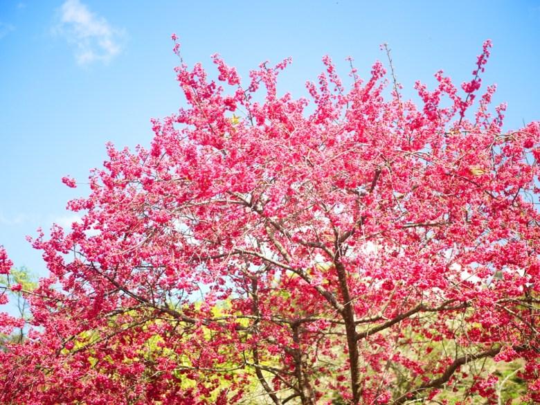 滿開的山櫻花 | 緋寒櫻 | 草坪頭玉山觀光茶園 | 信義 | 南投 | 巡日旅行攝