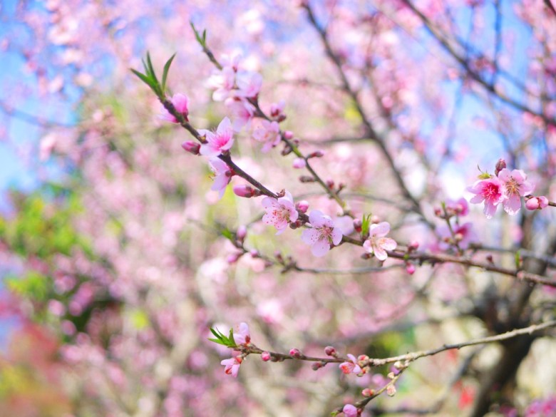 桃花朵朵開 | 美麗動人 | 網美景點 | 信義 | 南投 | 玉山秘境 | RoundtripJp