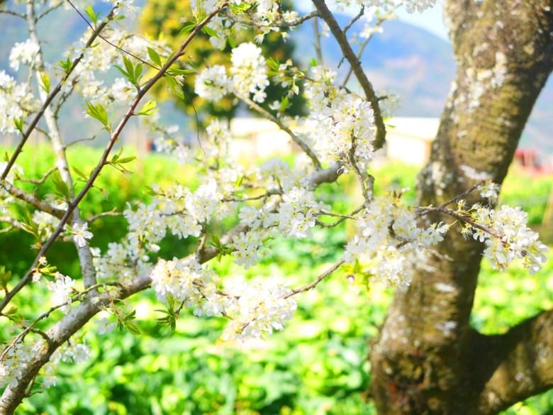 潔白的李花 | 陽光燦爛 | 清新的綠 | 芬芳的白 | Xinyi | Nantou | RoundtripJp