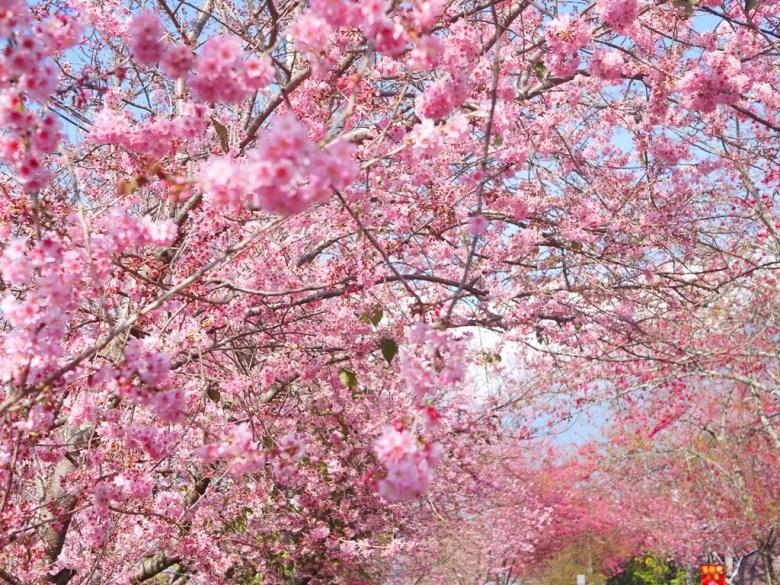 被滿滿粉紅櫻花海包圍的櫻花大道 | 草坪頭玉山觀光茶園 | 信義 | 南投 | 巡日旅行攝