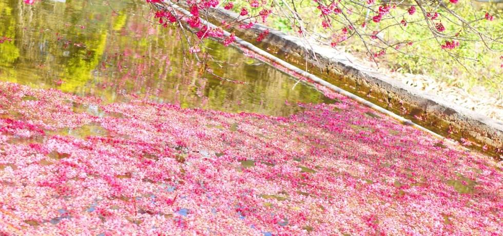 櫻と水鏡 | 滿滿日式風情 | 網美熱門拍照景點 | 草坪頭玉山觀光茶園 | 信義 | 南投 | 巡日旅行攝
