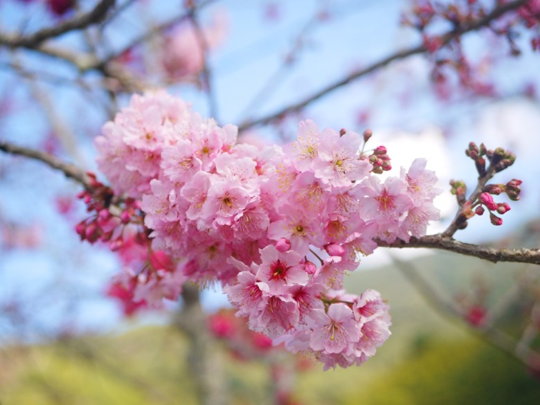 粉嫩的富士櫻 | 櫻花 | 日本風情 | 信義 | 南投 | RoundtripJp