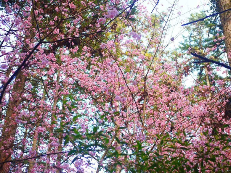 櫻花與杉木林 | 草坪頭玉山觀光茶園 | 信義 | 南投 | RoundtripJp
