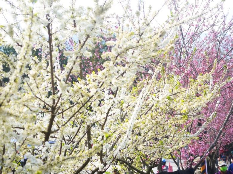 粉白相接 | 滿開的李花與櫻花 | 草坪頭玉山觀光茶園 | 1號停車場附近 | 信義 | 南投 | 巡日旅行攝
