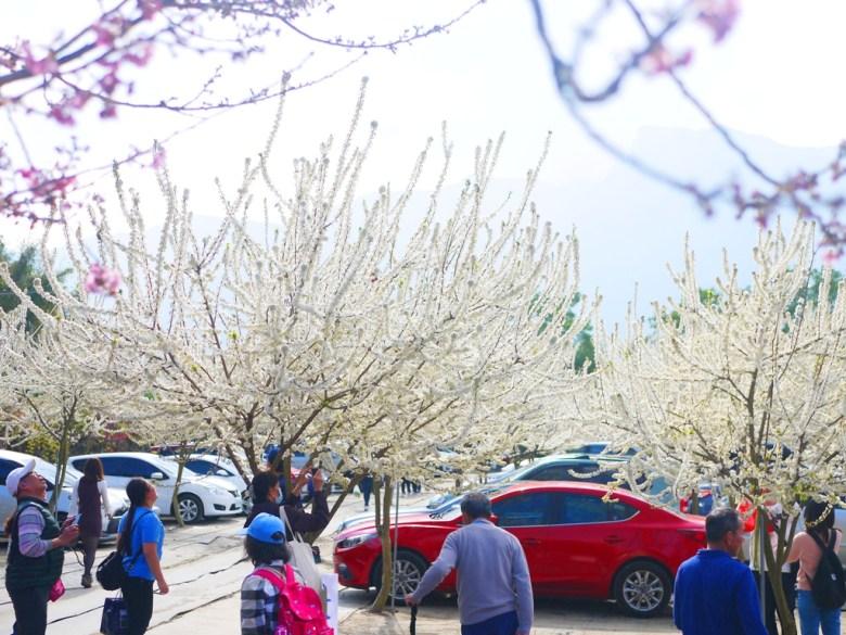 白色田園 | 1號停車場 | 滿開的李花 | 純白 | 信義 | 南投 | RoundtripJp