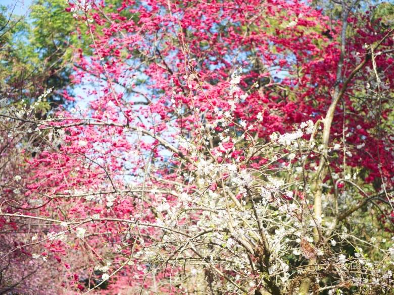 李花與山櫻花同框之美 | 粉白相間 | 夢幻綺麗 | 信義 | 南投 | 巡日旅行攝